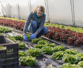 Working picking vegetables